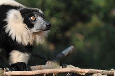 Free Lemur Stock Image - 18951021