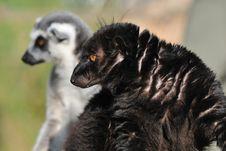 Free Lemurs Stock Photography - 18951062