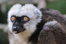 Free Lemur Royalty Free Stock Image - 18951076