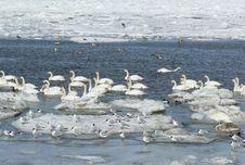 Free Swans Stock Photo - 18951940