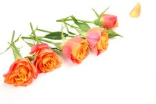 Free Fine Roses Stock Photography - 18952322