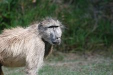Free Hairy Baboon Royalty Free Stock Image - 18953806