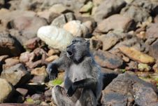 Free Baboon Acting The Clown Stock Photos - 18953813