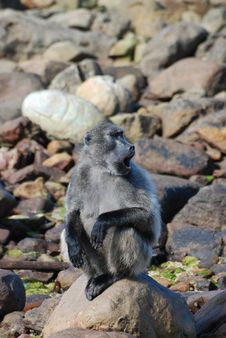 Free Baboon On The Rocks Stock Photography - 18953822