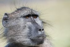 Free Portrait Of A Baboon Stock Photography - 18953832