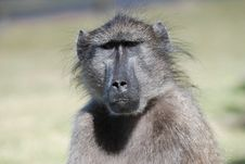 Free Potrait Of A Baboon Stock Images - 18953854