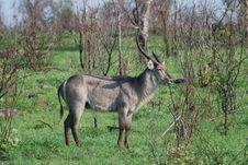 Free African Lone Waterbuck Stock Image - 18954131