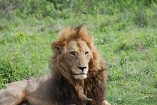 Free Male Lion King Of The Jungle Stock Image - 18954321