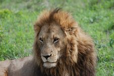 Free Male Lion King Of The Jungle Stock Photos - 18954353