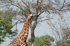 Free Elegant Giraffe Royalty Free Stock Photography - 18954407