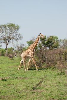 Free Tall Giraffe Taking A Walk Sabi Sands Royalty Free Stock Photos - 18954438