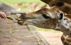 Free Giraffe Waiting For Feeding Royalty Free Stock Photography - 18955427