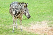 Free Zebra Royalty Free Stock Photo - 18955815