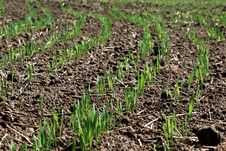 Free Wheat Seedlings Royalty Free Stock Photos - 18956518