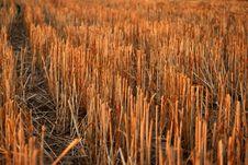 Free Wheat Field Royalty Free Stock Image - 18956576