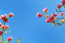 Free Flowering Magnolia Tree Branches Stock Image - 18957151