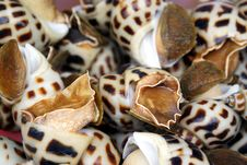 Living Sea Snail Conch Royalty Free Stock Image
