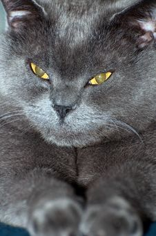 Free Blue British Shorthair Cat Stock Photos - 18959573