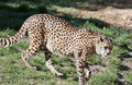 Free Cheetah Royalty Free Stock Images - 18963069