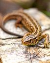 Free Sand Lizard Royalty Free Stock Photo - 18963535