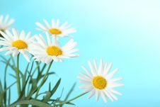 Free Daisies Stock Photo - 18960110