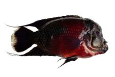 Free Red Black  Fish On White Background Royalty Free Stock Images - 18961319