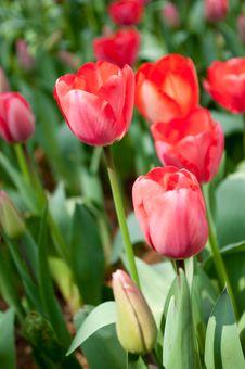 Free Tulip Royalty Free Stock Photos - 18961718