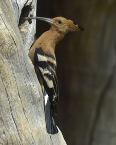 Free African Hoopoe Royalty Free Stock Photos - 18961818
