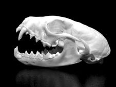 Free Weasel Skull Royalty Free Stock Image - 18962506