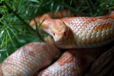 Free Pantherophis Guttatus Stock Photo - 18962620