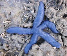 Free Blue Starfish 2 Royalty Free Stock Photos - 18962808