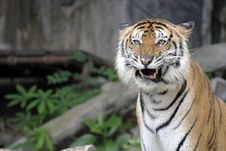 Free Bengal Tiger Royalty Free Stock Photo - 18963125