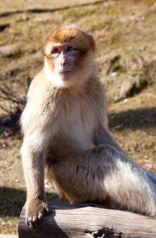 Free Macaque Royalty Free Stock Images - 18963479