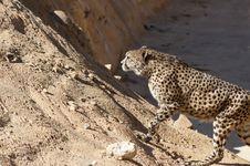 Free Cheetah Royalty Free Stock Photo - 18964515