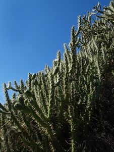 Free Cactusi Royalty Free Stock Images - 18964969
