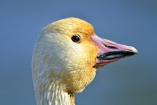 Snow Goose Stock Photos