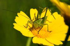 Free Grasshopper Royalty Free Stock Photography - 18967337