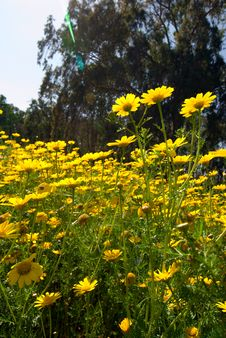 Free Yellow Flowers Royalty Free Stock Image - 18967626