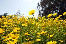 Free Yellow Flowers Stock Image - 18967761