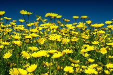 Free Yellow Flowers Stock Images - 18967924