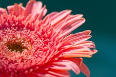Free Pink Gerber Daisy Stock Photography - 18967982