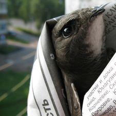 Free Swift Bird Stock Images - 18968244