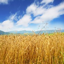 Free Golden Wheat Field Royalty Free Stock Photos - 18968398