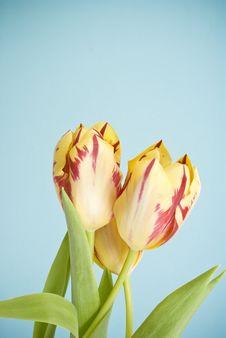 Free Tulips Royalty Free Stock Photo - 18969145