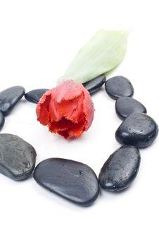 Free Red Tulip Stock Photo - 18969160