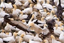 Free Cape Gannet Royalty Free Stock Images - 18969669