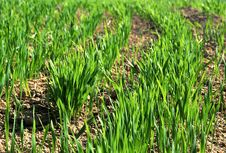 Free Wheat Grass Royalty Free Stock Photography - 18970387