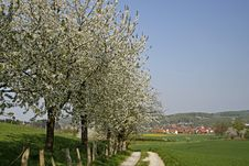 Footpath With Cherry Trees In Hagen, Germany Stock Photos