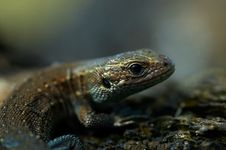 Free Portrait Of Lizard Royalty Free Stock Photography - 18971347