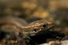 Free Portrait Of Lizard Royalty Free Stock Photography - 18971357